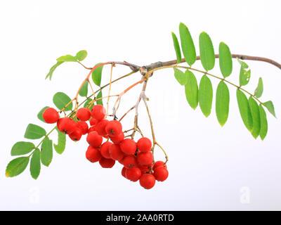 Früchte der Vogelbeere oder Eberesche (Sorbus aucuparia), Freisteller. - Stock Photo
