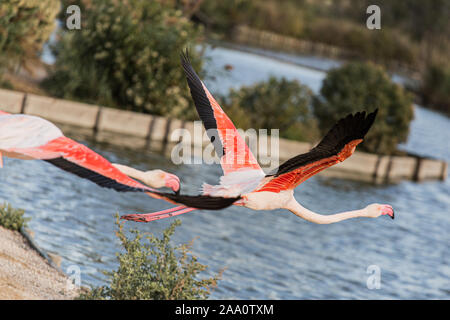 Great pink flamingos flying over a lake in La Camargue wetlands, France - Stock Photo