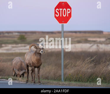 Bighorn sheep (Ovis canadensis) along roadside, Fall, Badlands National Park, South Dakota, USA, by Dominique Braud/Dembinsky Photo Assoc - Stock Photo