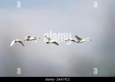 Fliegende Höckerschwäne (Cygnus olor) / Flying mute swans (Cygnus olor) - Stock Photo