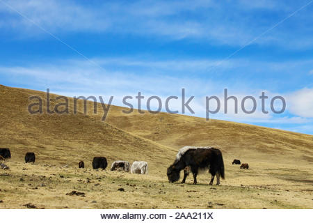 A herd of yaks in a pasture in the steppe of Mongolia on a sunny morning. - Stock Photo