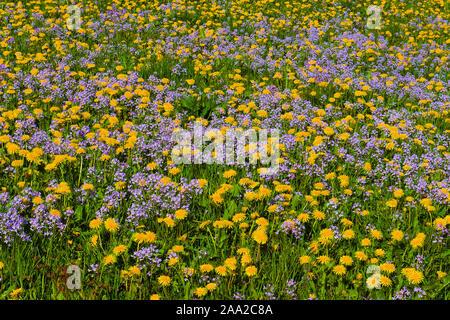 Field of flowers (common dandelions and cuckoo flowers) at Tysvaer, hordaland, Norway, in May 2015. - Stock Photo