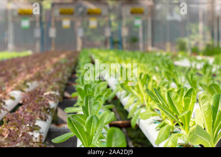 fresh young organic green cos lettuce and red oak lettuce plant are growing on the water without soil in the hydroponic system at vegetable salad farm - Stock Photo