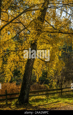 Autumn Trees on the shore of Talybont Reservoir in the Brecon Beacons National Park, Powys, South Wales - Stock Photo