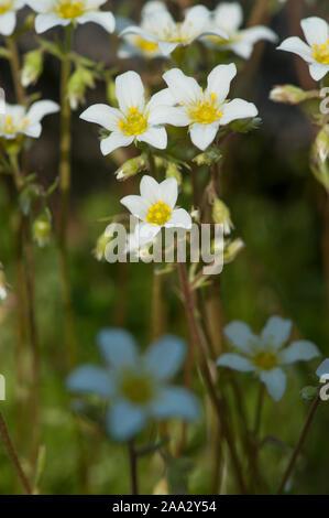 Saxifraga rosacea subsp. Sponhemica,Rheinischer Rasen-Steinbrech,Irish Saxifrage - Stock Photo