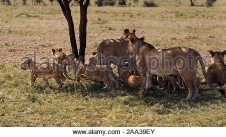 Lion cubs and lioness getting ready to move on for a walk - Stock Photo