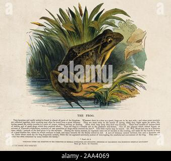 A frog sitting on the shore of a lake. Coloured wood engraving by J. W. Whimper..jpg - 2AA4069 - Stock Photo