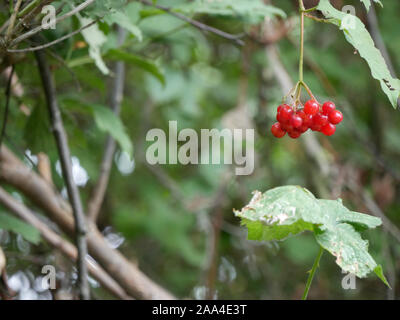 Single bunch of Rowan berries (Sorbus aucuparia) hanging from a tree in the garden
