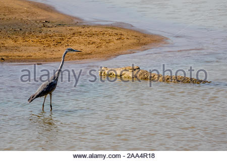 A Grey Heron walks dangerously close to a Nile Crocodile. South Luangwa National Park, Zambia - Stock Photo