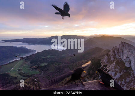 Sankt Gilgen: view from mountain Schafberg to lake Attersee (with fog clouds above the water), summit Spinnerin, bird Alpine chough (Pyrrhocorax gracu - Stock Photo