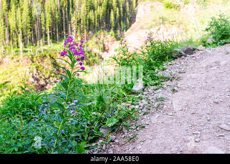 Trail path to Ice lake near Silverton, Colorado in August 2019 summer with fireweed purple pink wildflowers flowers along road - Stock Photo