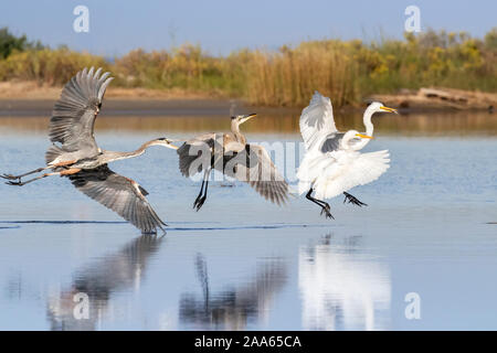 The adult great blue heron is chasing the juvenile one and scared two great egrets fishing nearby - Stock Photo