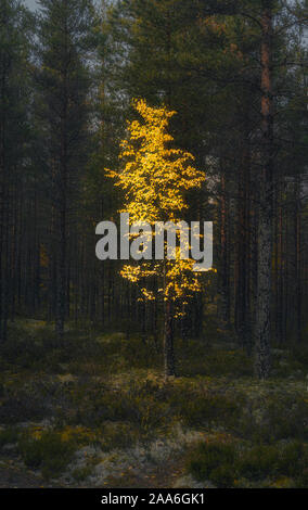 Lonely yellow birch tree in the dark forest. Vertical background - Stock Photo