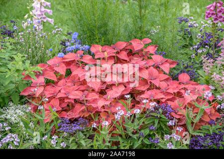 Buntnessel (Solenostemon scutellarioides) - Stock Photo