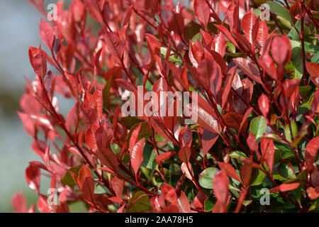 Glanzmispel (Photinia × fraseri 'Little Red Robin') - Stock Photo