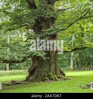 Ivenacker Eichen, Stiel-Eiche  (Quercus robur) - Stock Photo