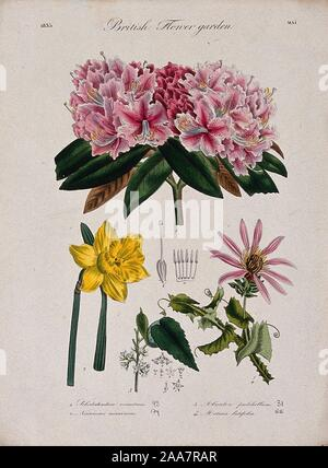 Four British garden plants, including daffodil and rhododendron flowering stems and floral segments. Coloured etchi.jpg - 2AA7RAR - Stock Photo