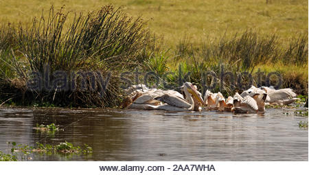 flock of Great white pelican (Pelecanus onocrotalus) feeding in a shallow water body - Stock Photo