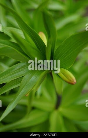 Closed bud lily flower with lush leaves grow in the spring garde - Stock Photo