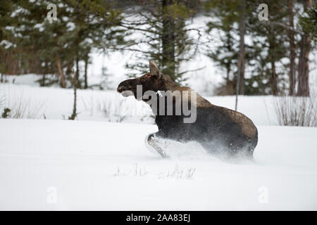 Moose / Elch ( Alces alces ) in winter, young bull, shed antlers, running, fleeing through deep snow, Yellowstone National Park, Wyoming, USA. - Stock Photo