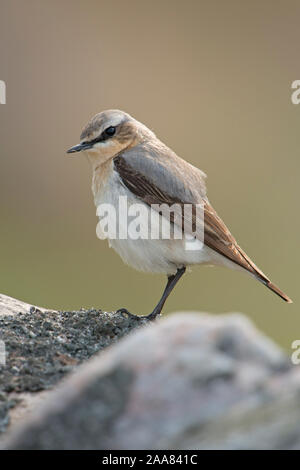 Northern Wheatear / Steinschmaetzer ( Oenanthe oenanthe ), male in breeding dress, perched on a rock, typical surrounding, Europe. - Stock Photo