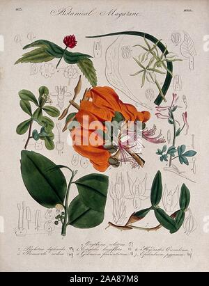 Seven British garden plants, including a coral tree flowering stems and some floral segments. Coloured etching, c. 1.jpg - 2AA87M8 - Stock Photo