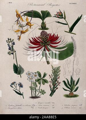 Seven plants, including two orchids and a coral tree flowering stems. Coloured etching, c. 1833..jpg - 2AA88E5 - Stock Photo