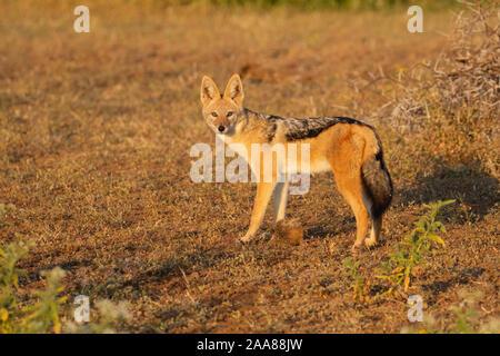 Black-backed Jackal (Canis mesomelas), Mashatu Game Reserve, Botswana - Stock Photo