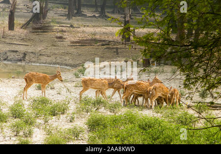 A herd of fallow deer or Chital ( hoofed ruminant mammals – Cervidae family) spotted in the midst Of picturesque greenery forest back drops. Bhadra Wi - Stock Photo