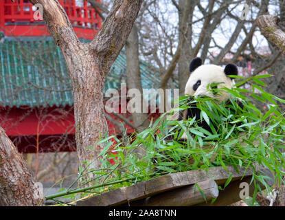 a giant panda eats bamboo near a  pagoda - Stock Photo