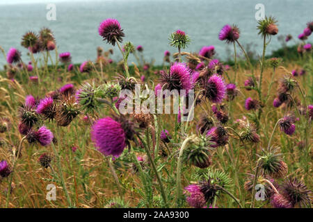 Nodding Thistle or Musk Thistle - Carduus Nutans, Purple flowers on a coastal field overlooking the sea - Stock Photo