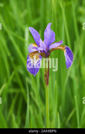 Close up of a purple Iris growing in my local park against a green background - Stock Photo