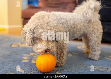 Close-up of a cute Bichon Frise dog sniffing a pumpkin, suggesting Thanksgiving or Autumn, on a carpet in a domestic room, November 9, 2019. () - Stock Photo
