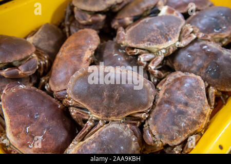 Edible crabs in fish boxes ready for transport to the open market in a factory in Shetland - Stock Photo