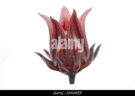 Roselle, Jamaican Sorelor or Hibiscus sabdariffa isolated on white background with clipping path - Stock Photo