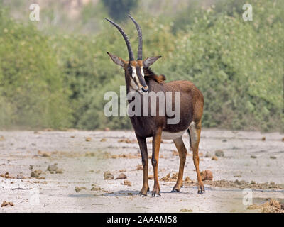 Female sable antelope standing - Stock Photo