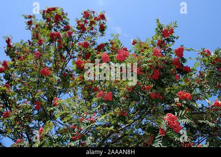 Rowan Ash, Mountain Ash / (Sorbus aucuparia) | Eberesche, Vogelbeere / (Sorbus aucuparia) / - Stock Photo
