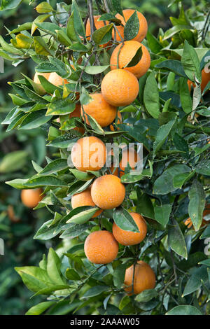 Maturing, sprayed Cutter nucellar Valencia Oranges on branches 'Citrus sinensis'. - Stock Photo