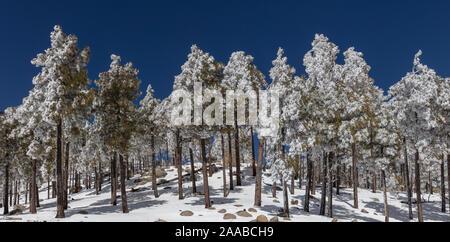 Pines in Snow, Mt. Lemmon, Tucson, AZ - Stock Photo