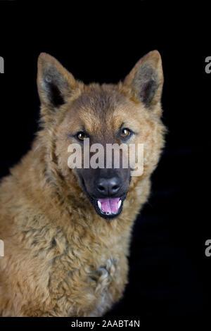 Westerwälder Kuhhund, Old German Sheepdog, studio photo with black background - Stock Photo