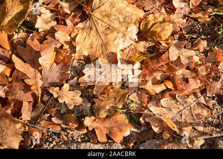 Autumn oak leaves background surface laying under feet in deep autumn falling - Stock Photo