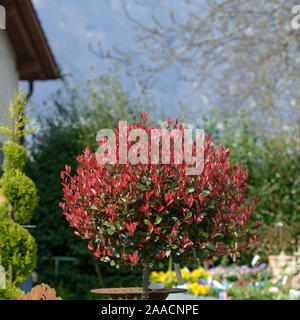 Glanzmispel (Photinia × fraseri 'Little Red Robin') - Stock Photo