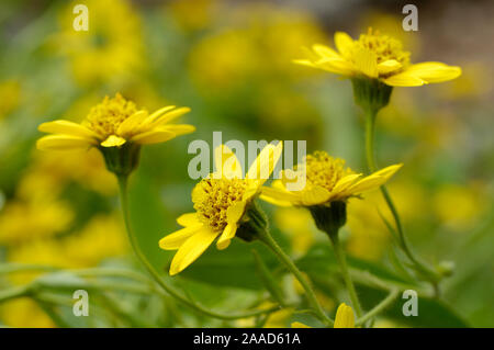Mountain Arnica / (Arnica montana) | Echte Arnika / (Arnica montana) / - Stock Photo