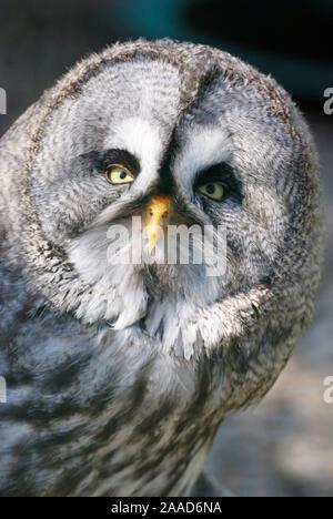 Bartkauz, (Strix nebulosa), Great Grey Owl, - Stock Photo