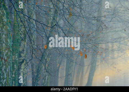 European beech (Fagus sylvatica) and Silver birch (Betula pendula) woodland in mist, Potsdam, Germany, January 2016. - Stock Photo