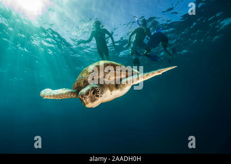 Green turtle (Chelonia mydas) swimming with snorkelers in the background, Canary Islands, Spain, July. - Stock Photo