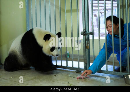 Keeper (Mrs. Duan Dong-Quing) giving back male newborn Giant panda (Ailuropoda melanoleuca) to its mother Huan Huan after bottle-feeding. Beauval Zoo, France, 6th August 2017 - Stock Photo