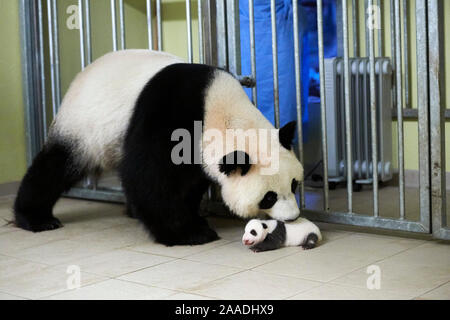 Giant panda (Ailuropoda melanoleuca) mother Huan Huan, picking up baby, age one month, Beauval Zoo, France. Sequence 3 of 5 September 2017. - Stock Photo