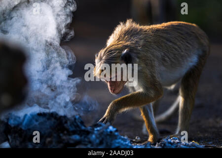 Toque macaque (Macaca sinica sinica) investigating a fire. Polonnaruwa, Sri Lanka February. - Stock Photo