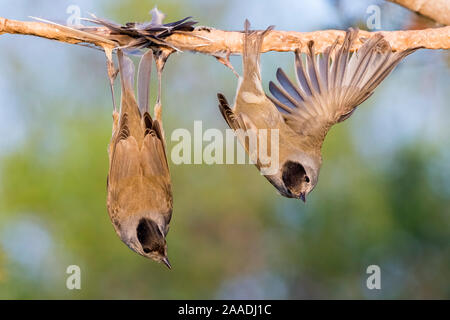 Eurasian blackcaps (Sylvia atricapilla) caught on limed stick, Cyprus. Finalist in The Wildlife Photojournalist Award: Single Image Category of the Wildlife Photographer of  the Year Awards (WPOY) Competition 2017. - Stock Photo